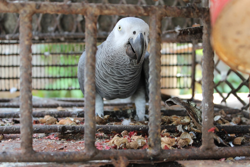 African Grey Parrots are indegenous to Équateur and highly endangered. This cative parrot lives in a monastery in Gemena.