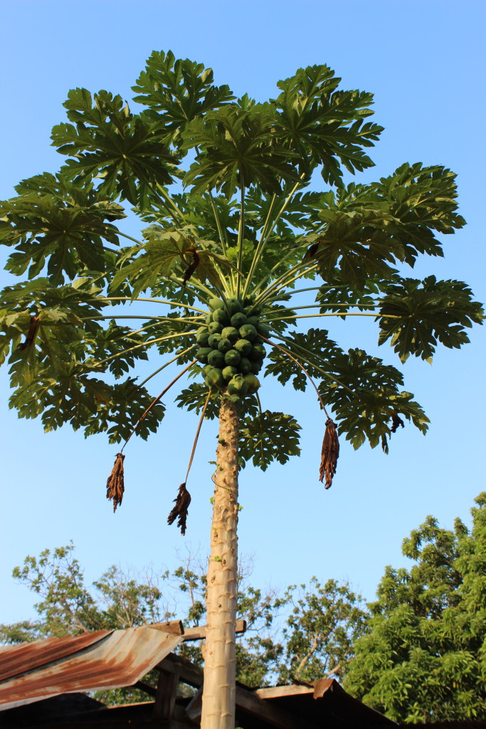 Although papaya grows freely, much of the fruit is not harvested, as it is considered a food for children or the poor.
