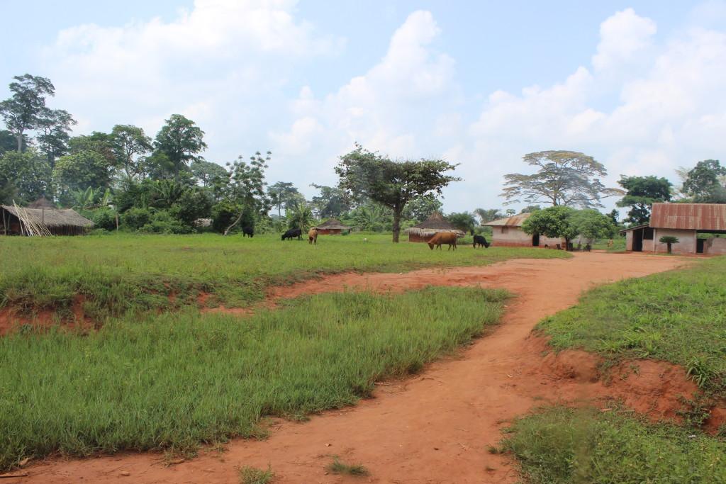 Cows graze nearby Gemena.