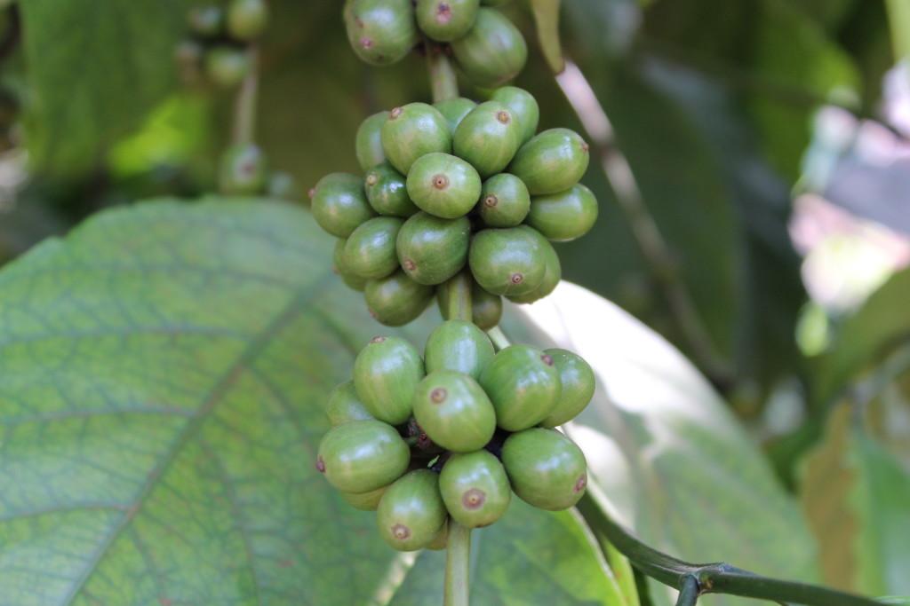 Coffee grows outside a home in Bokumu Mokola.