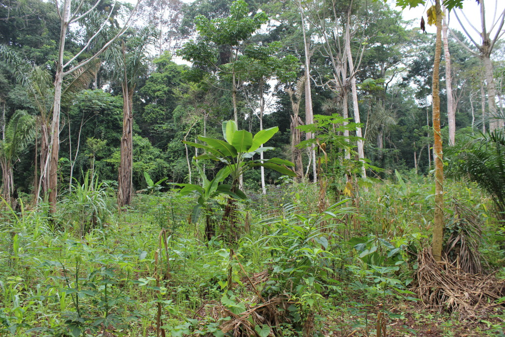 Forests are often cut to provide a fertile place to grow manioc and corn. Here a banana tree has also been planted.