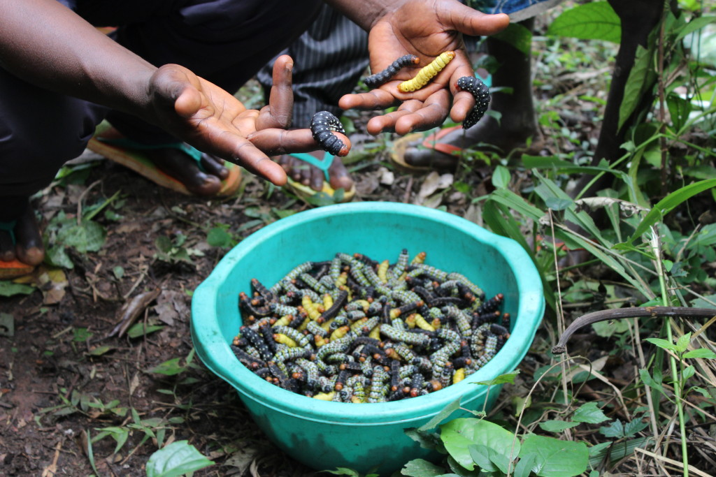 Caterpillars are a popular meal in the DRC--these caterpillars were gathered in the northern forests. Some will be eaten and many will be sold for additional income.