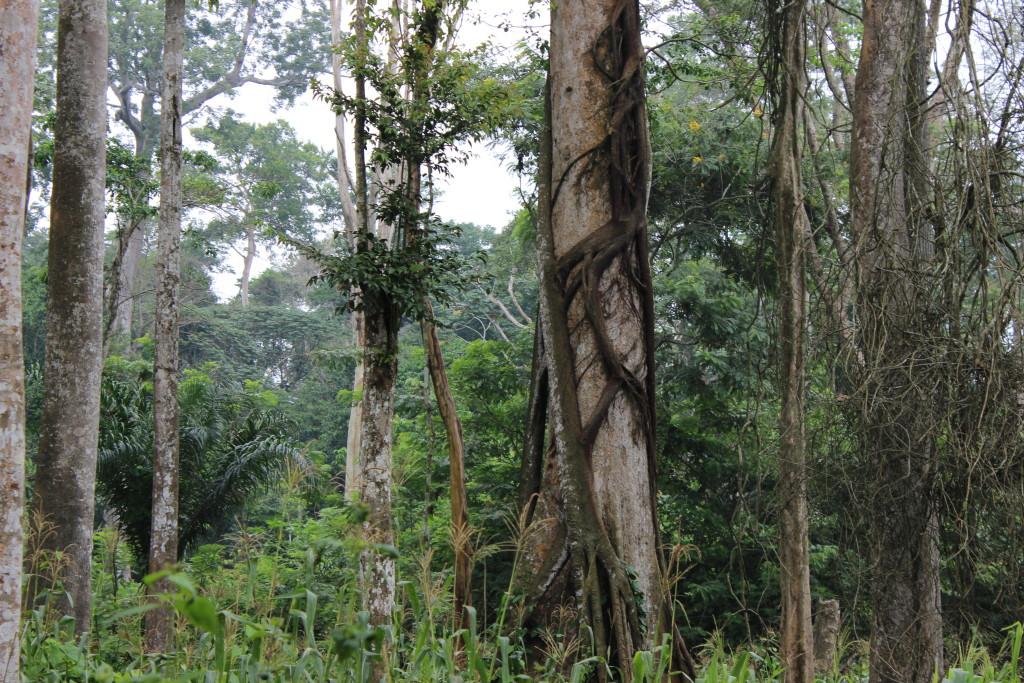 Giant trees litter the primary forest surrounding Bokumu Mokola.