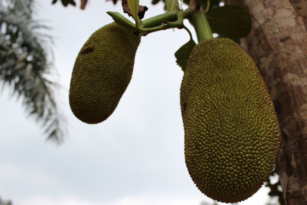 Jackfruit, although native to Southeast Asia, grows well in Équateur.