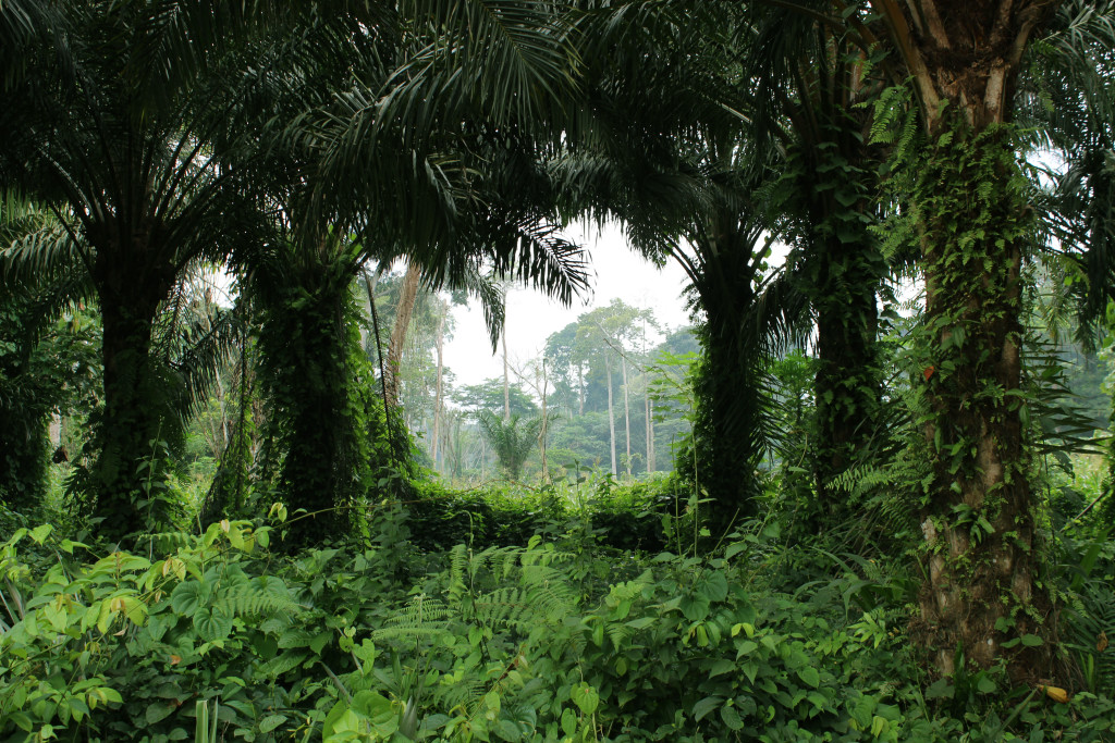 A view through the trees gives a household in Bokumu Mokola a view of nearby towering trees.