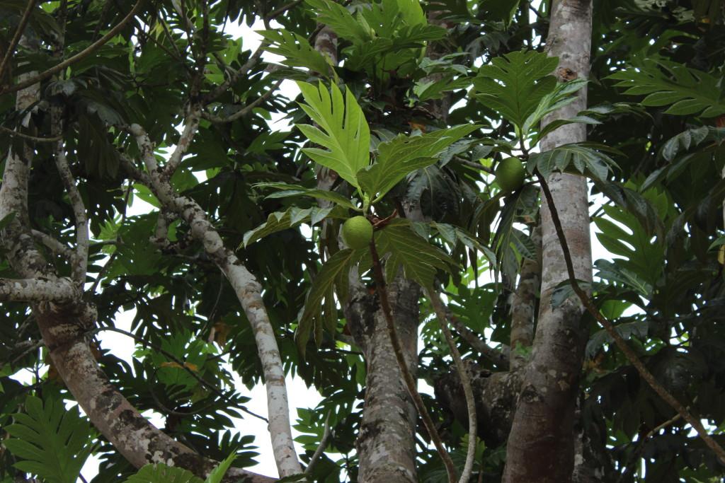 A breadfruit tree grows in Bokumu Mokola.