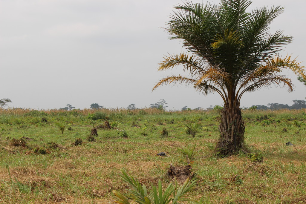 Palm oil was once widely cultivated in Équateur, however most plantations are now untended. There is great potential for sustainable palm oil production in the DRC which would rehabilitate these lands instead of cutting down primary forest.